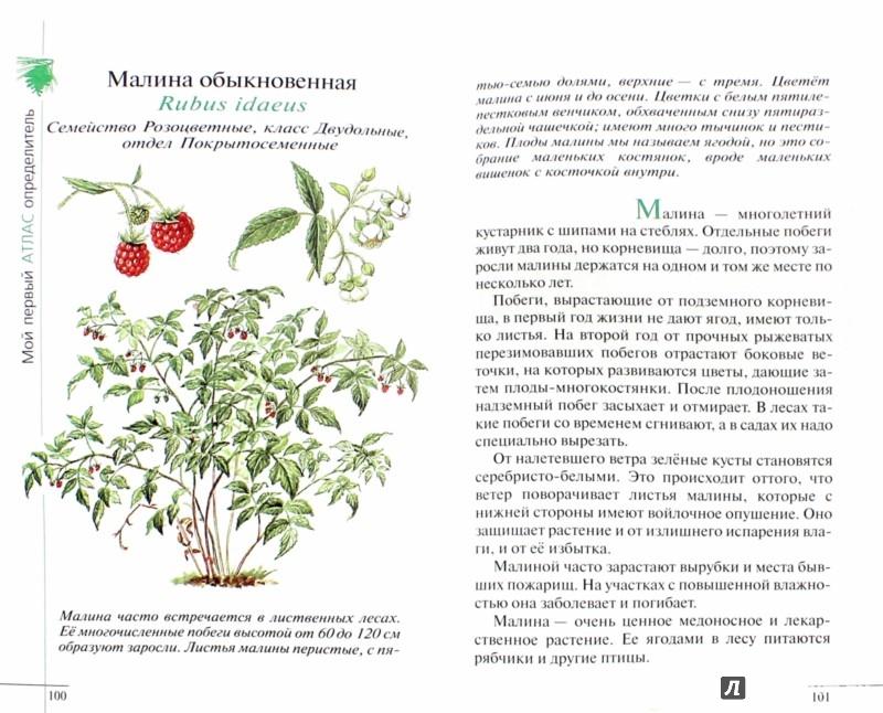 Иллюстрация 1 из 28 для Твой первый атлас-определитель. Растения (4129) - Татьяна Козлова | Лабиринт - книги. Источник: Лабиринт