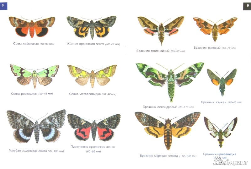 Иллюстрация 1 из 9 для От махаона до лимонницы. Бабочки | Лабиринт - книги. Источник: Лабиринт