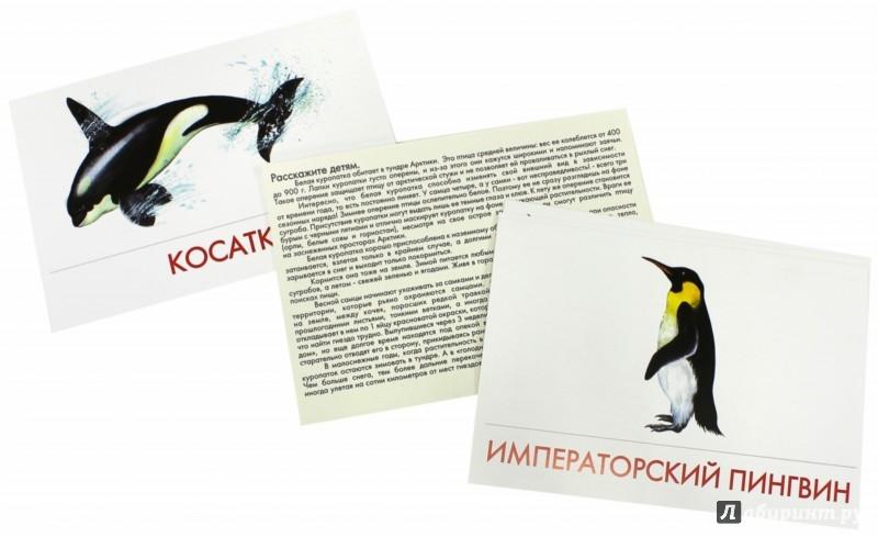 Иллюстрация 1 из 15 для Дидактические карточки. Животные Арктики и Антарктики | Лабиринт - книги. Источник: Лабиринт