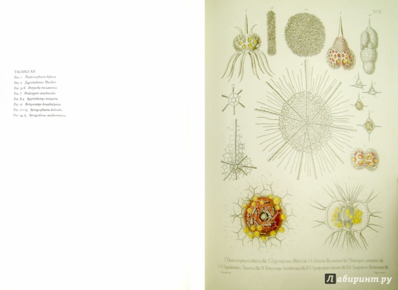 Иллюстрация 1 из 10 для Красота форм в морских глубинах - Эрнест Геккель   Лабиринт - книги. Источник: Лабиринт