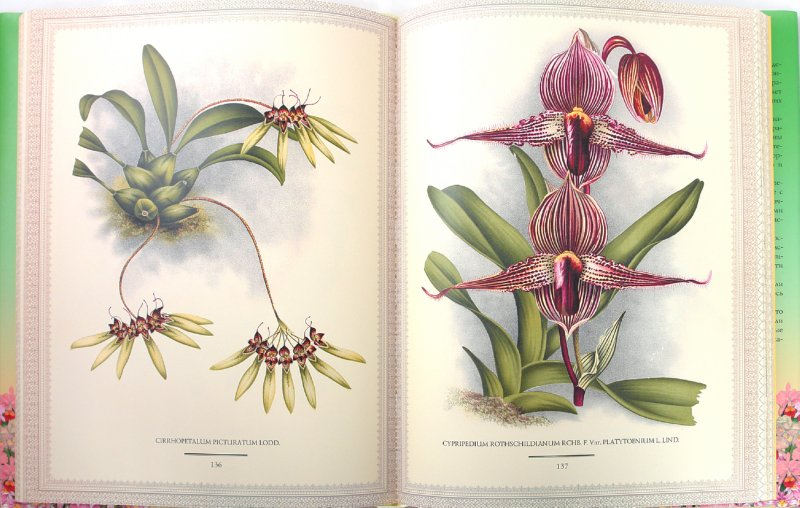 Иллюстрация 1 из 39 для Орхидеи. Линдения - иконография орхидей | Лабиринт - книги. Источник: Лабиринт