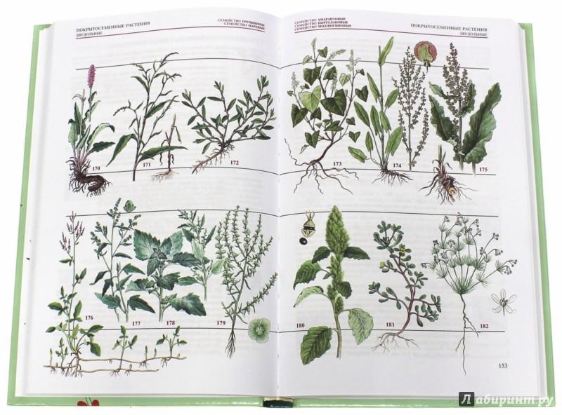 Иллюстрация 1 из 34 для Популярный атлас-определитель. Дикорастущие растения - Новиков, Губанов | Лабиринт - книги. Источник: Лабиринт