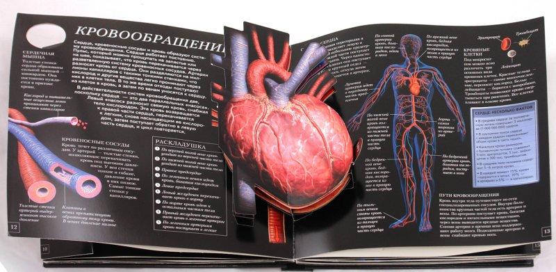Иллюстрация 1 из 29 для Анатомия человека. Школа открытий - Стив Паркер | Лабиринт - книги. Источник: Лабиринт