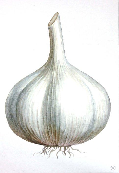 Иллюстрация 1 из 16 для Демонстрационный материал А4 Овощи | Лабиринт - книги. Источник: Лабиринт