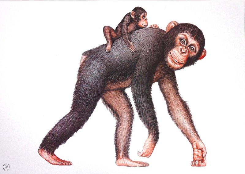 Иллюстрация 1 из 25 для Демонстрационный материал А4 Животные разных широт | Лабиринт - книги. Источник: Лабиринт