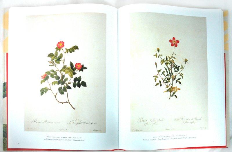 Иллюстрация 1 из 12 для The Roses. The Complete Plates - Hinz, Schulz | Лабиринт - книги. Источник: Лабиринт