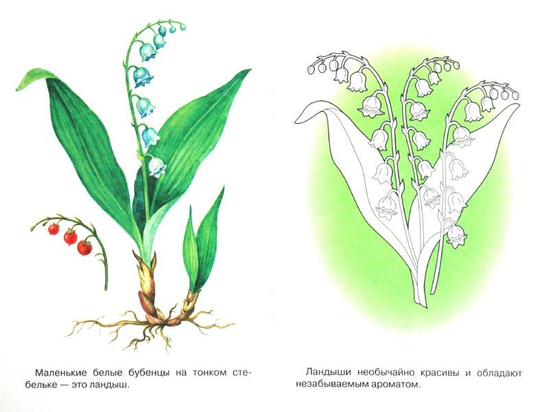 Иллюстрация 1 из 6 для Раскраска. Лесные и полевые цветы | Лабиринт - книги. Источник: Лабиринт
