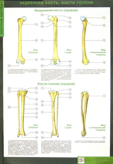 Иллюстрация 1 из 22 для Таблицы по анатомии человека: Костная система. Учебно-наглядное пособие - Рудольф Самусев | Лабиринт - книги. Источник: Лабиринт