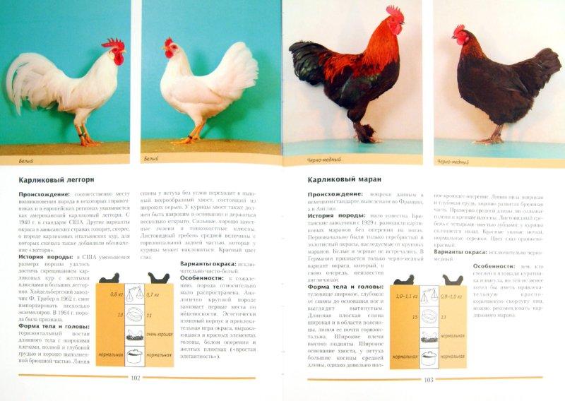 Иллюстрация 1 из 6 для Куры. 200 пород для разведения и выставок - Хорст Шмидт | Лабиринт - книги. Источник: Лабиринт