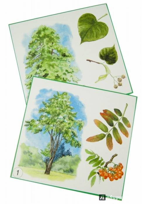 """Иллюстрация 1 из 13 для Карточки """"Деревья, плоды, листья""""   Лабиринт - книги. Источник: Лабиринт"""