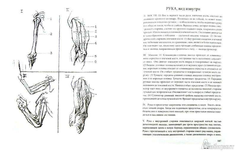 Иллюстрация 1 из 7 для Конструктивная анатомия: руководство по рисованию фигуры человека - Джордж Бриджмен | Лабиринт - книги. Источник: Лабиринт