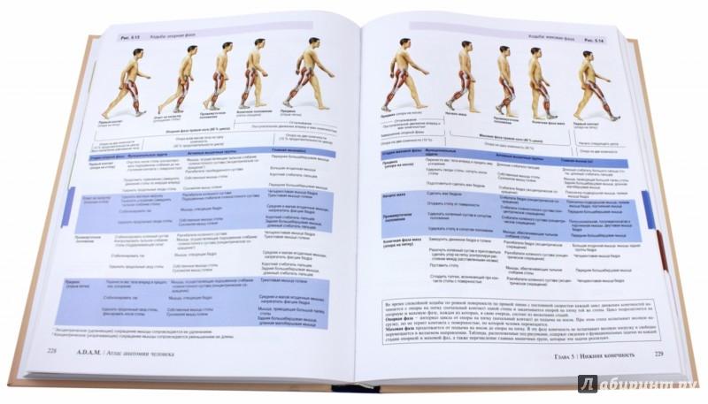 Иллюстрация 1 из 22 для A.D.A.M. Атлас анатомии человека - Олсон, Павлина | Лабиринт - книги. Источник: Лабиринт