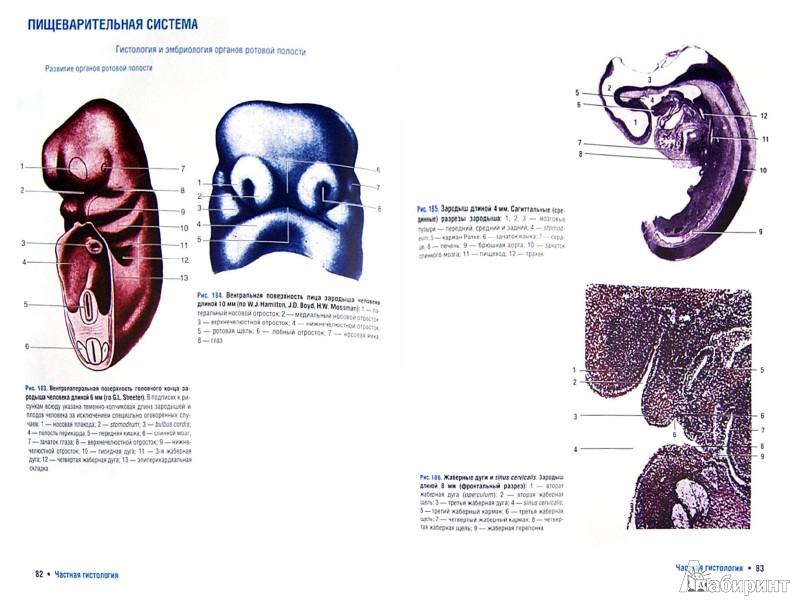 Иллюстрация 1 из 10 для Гистология, цитология и эмбриология. Атлас - Гемонов, Лаврова | Лабиринт - книги. Источник: Лабиринт