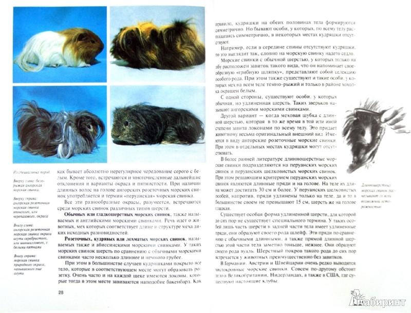 Иллюстрация 1 из 18 для Морские свинки. Содержание и уход - Дитрих Альтман | Лабиринт - книги. Источник: Лабиринт