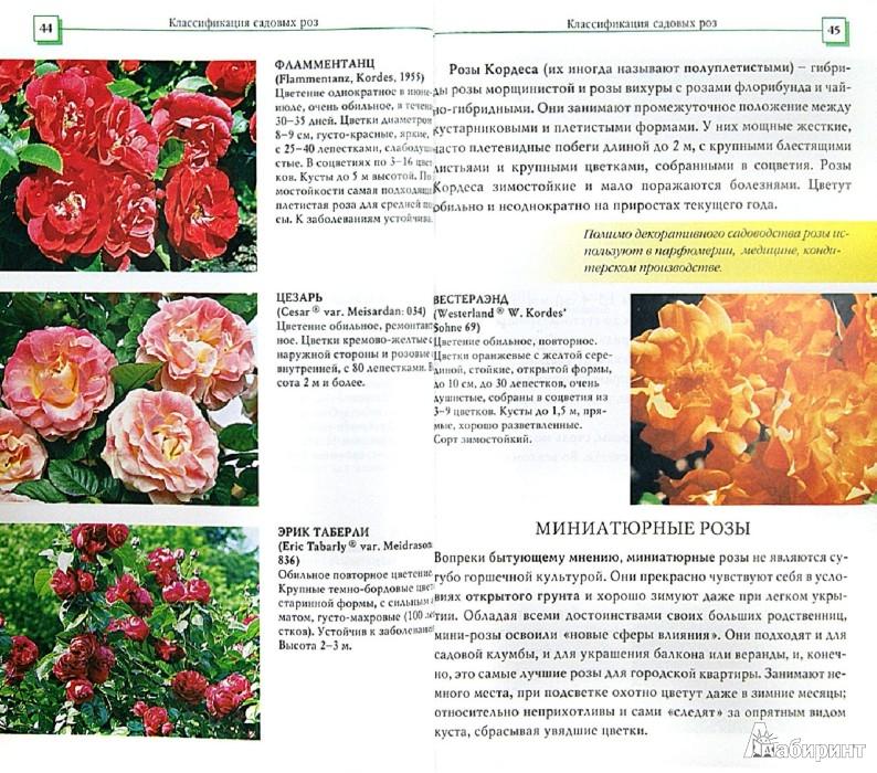 Иллюстрация 1 из 13 для Розы - Наталья Анзигитова | Лабиринт - книги. Источник: Лабиринт