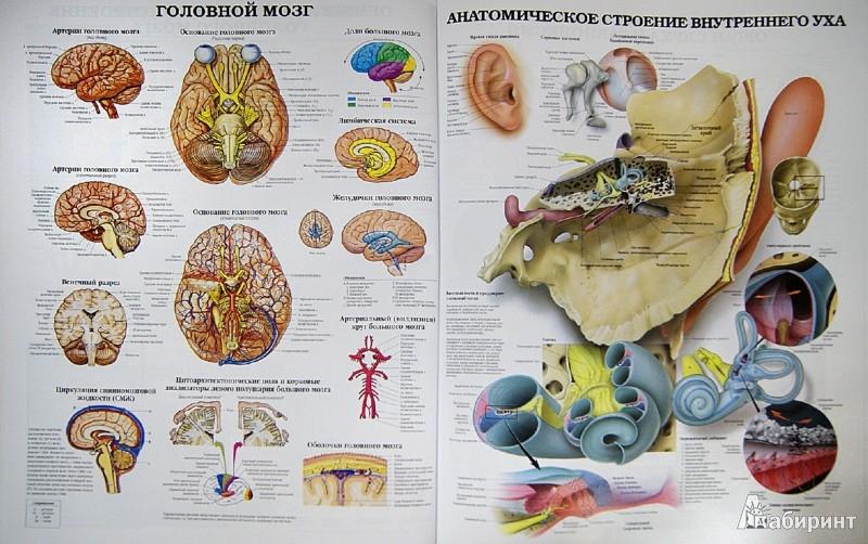 Иллюстрация 1 из 9 для Большой атлас анатомии человека   Лабиринт - книги. Источник: Лабиринт