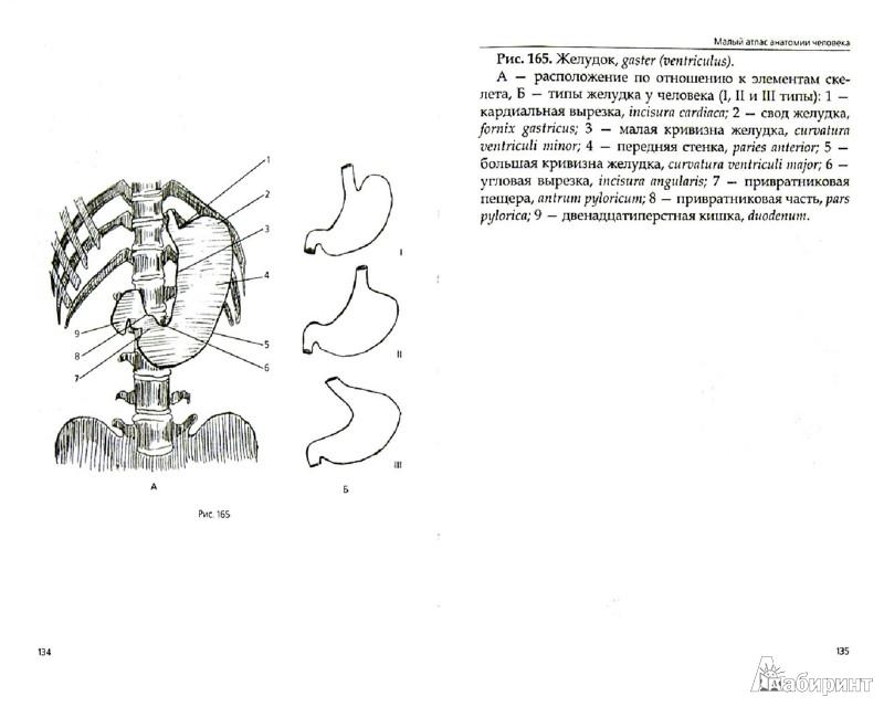 Иллюстрация 1 из 6 для Малый атлас анатомии человека - Т. Селезнева   Лабиринт - книги. Источник: Лабиринт