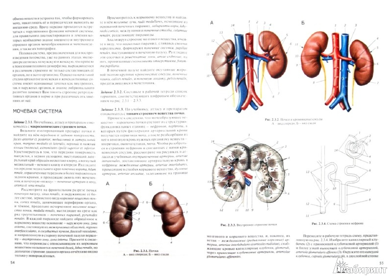 Иллюстрация 1 из 6 для Практикум по анатомии человека. В 4-х частях. Часть 2. Внутренности и эндокринные железы - Цыбулькин, Горская, Колесников | Лабиринт - книги. Источник: Лабиринт