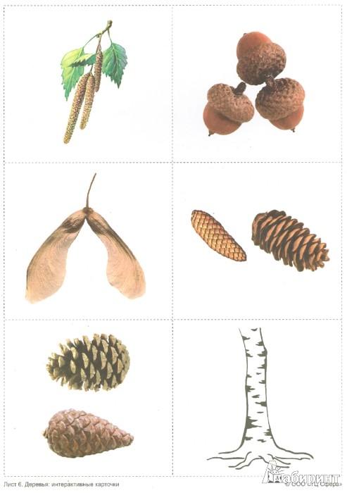Иллюстрация 1 из 19 для Деревья: демонстрационные интерактивные карточки по познавательно-речевому развитию - Елена Косинова | Лабиринт - книги. Источник: Лабиринт