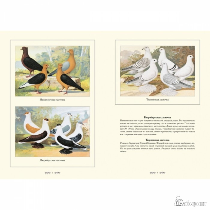 Иллюстрация 1 из 5 для Альбом голубиных пород - С. Иванов | Лабиринт - книги. Источник: Лабиринт