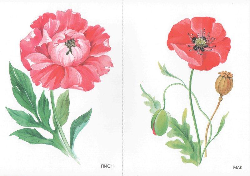Иллюстрация 1 из 12 для Цветы. Наглядно-дидактическое пособие   Лабиринт - книги. Источник: Лабиринт
