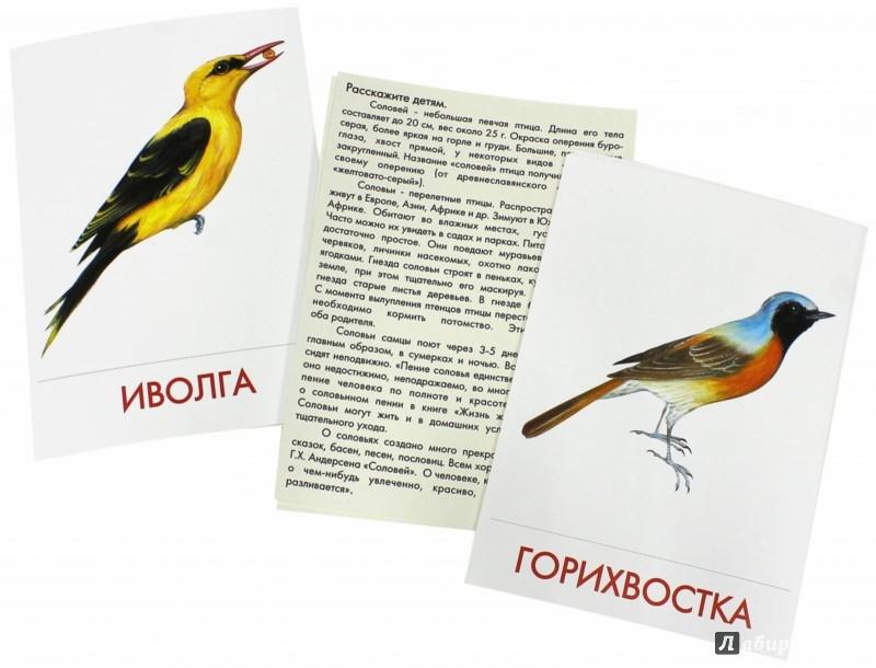 Иллюстрация 1 из 22 для Дидактические карточки. Птицы наших лесов | Лабиринт - книги. Источник: Лабиринт