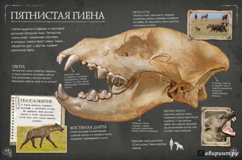 Иллюстрация 1 из 40 для Коллекция костей. Черепа - Бедуайер Камилла де ла | Лабиринт - книги. Источник: Лабиринт