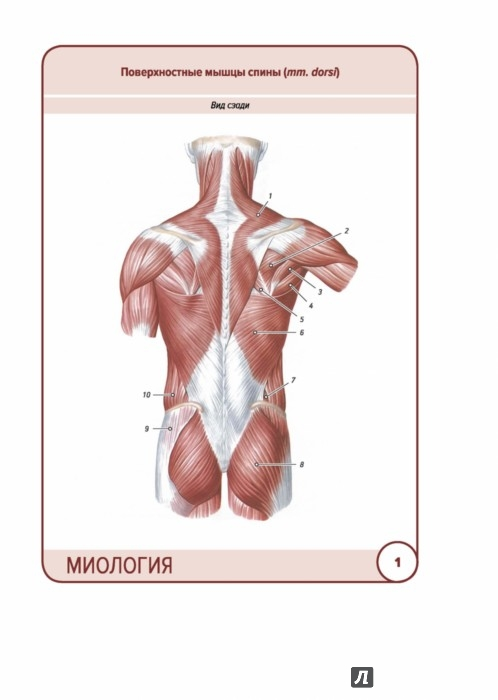 Иллюстрация 1 из 29 для Анатомия человека. Карточки. Миология - Сапин, Николенко, Тимофеева   Лабиринт - книги. Источник: Лабиринт