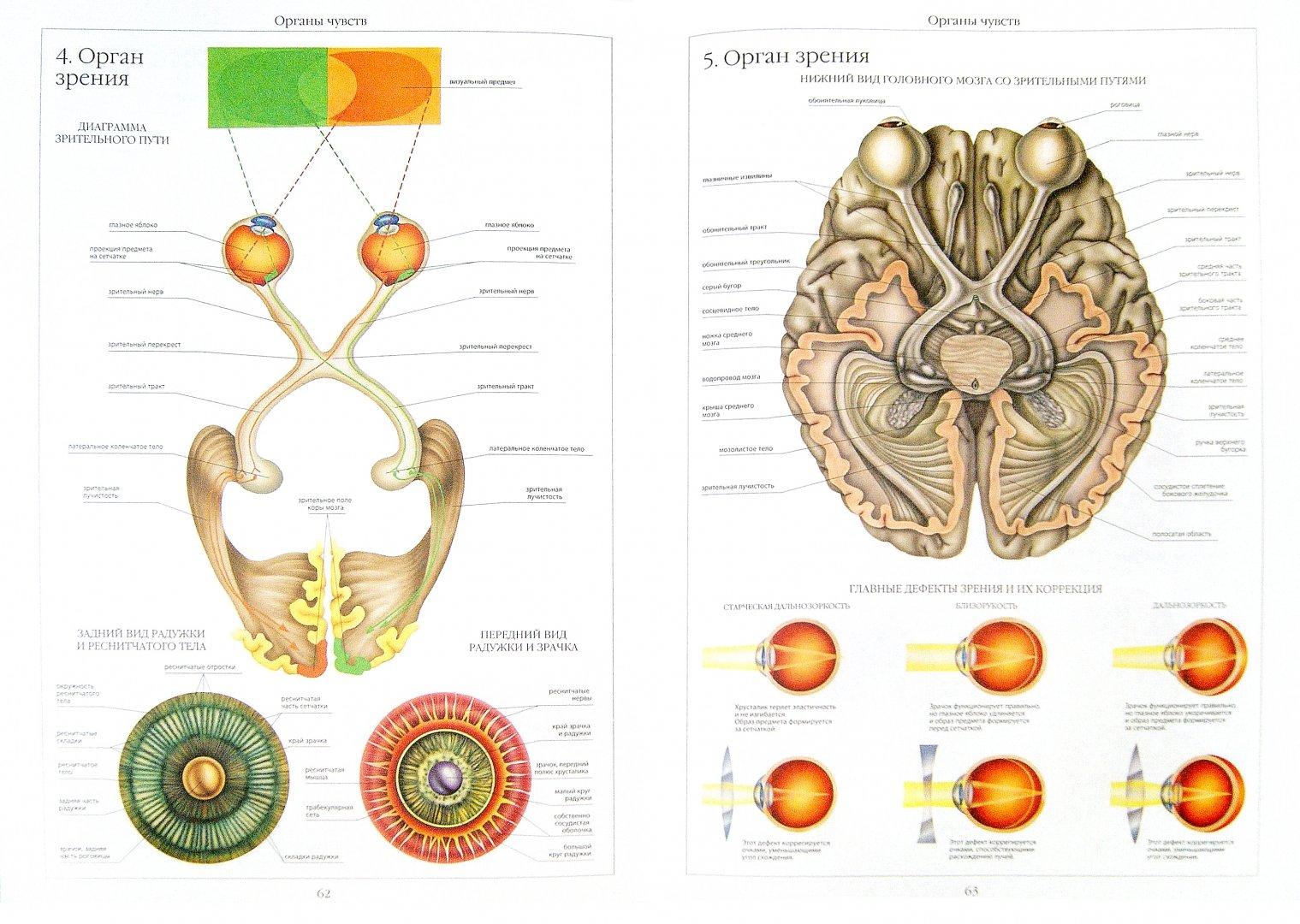 Иллюстрация 1 из 39 для Атлас анатомии человека | Лабиринт - книги. Источник: Лабиринт