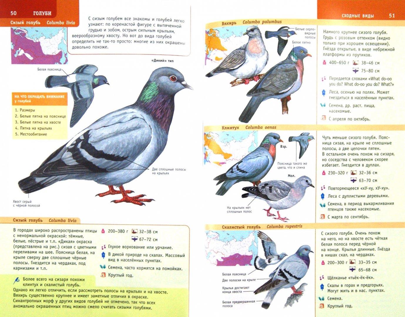 Иллюстрация 1 из 13 для Птицы России. Определитель - Мосалов, Волцит   Лабиринт - книги. Источник: Лабиринт