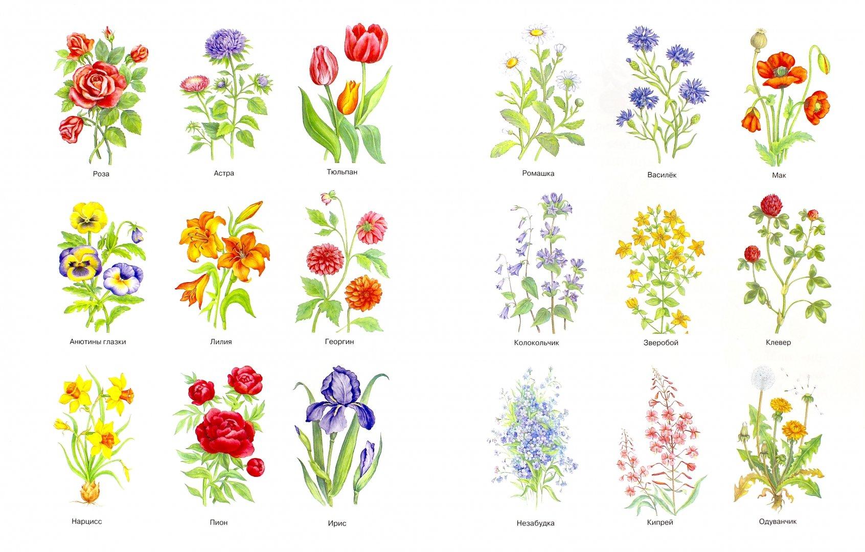 виды цветов с картинками ещё рамках