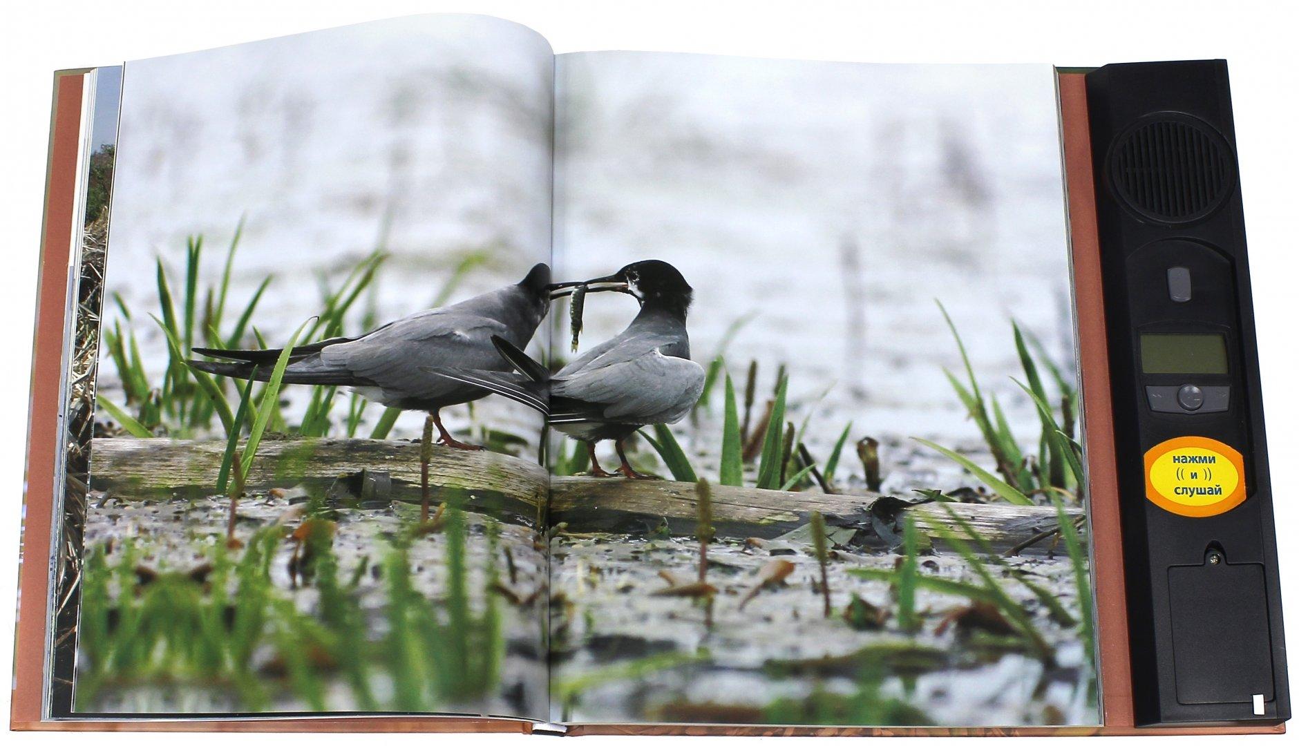 Иллюстрация 1 из 33 для Птицы. Водоплавающие и околоводные. Звуковая энциклопедия (поганка) - Ксения Митителло   Лабиринт - книги. Источник: Лабиринт