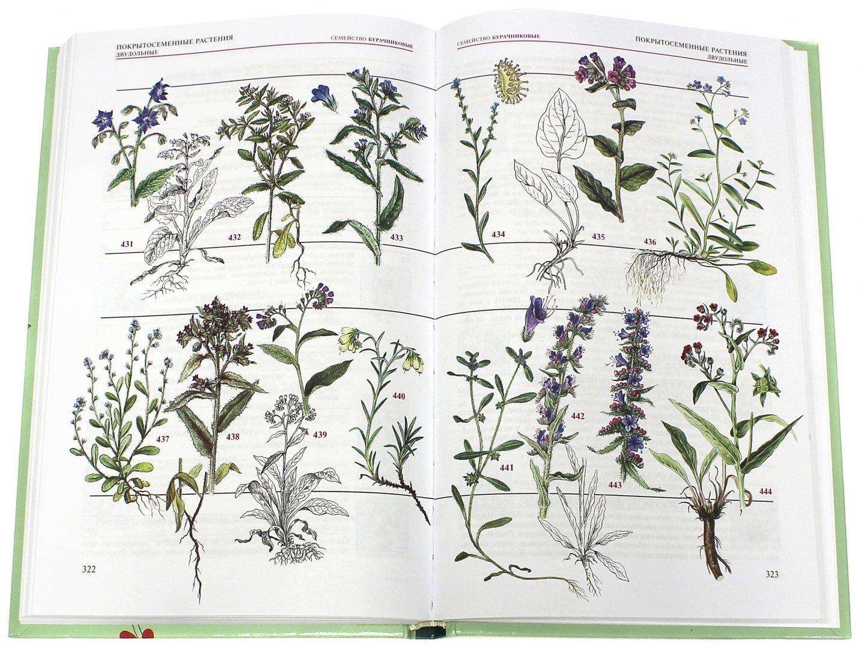 атлас травянистых цветов картинки
