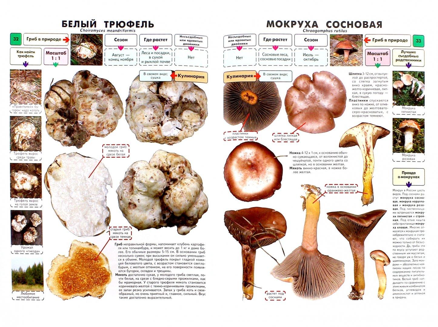 каталог грибов с фото и описанием россии что